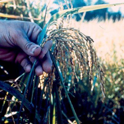 벼 쌀 농사 농업 수확