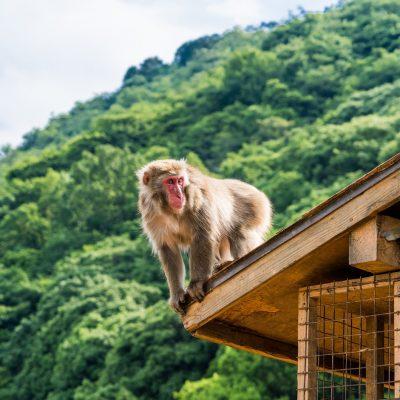 원숭이, 일본, 최윤식