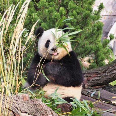 판다 희귀동물 포유류 곰 대나무