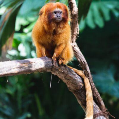황금원숭이 멸종위기 원숭이