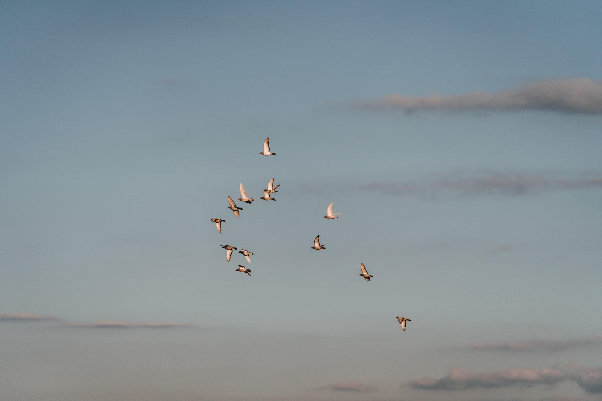 새, 비둘기, 철새