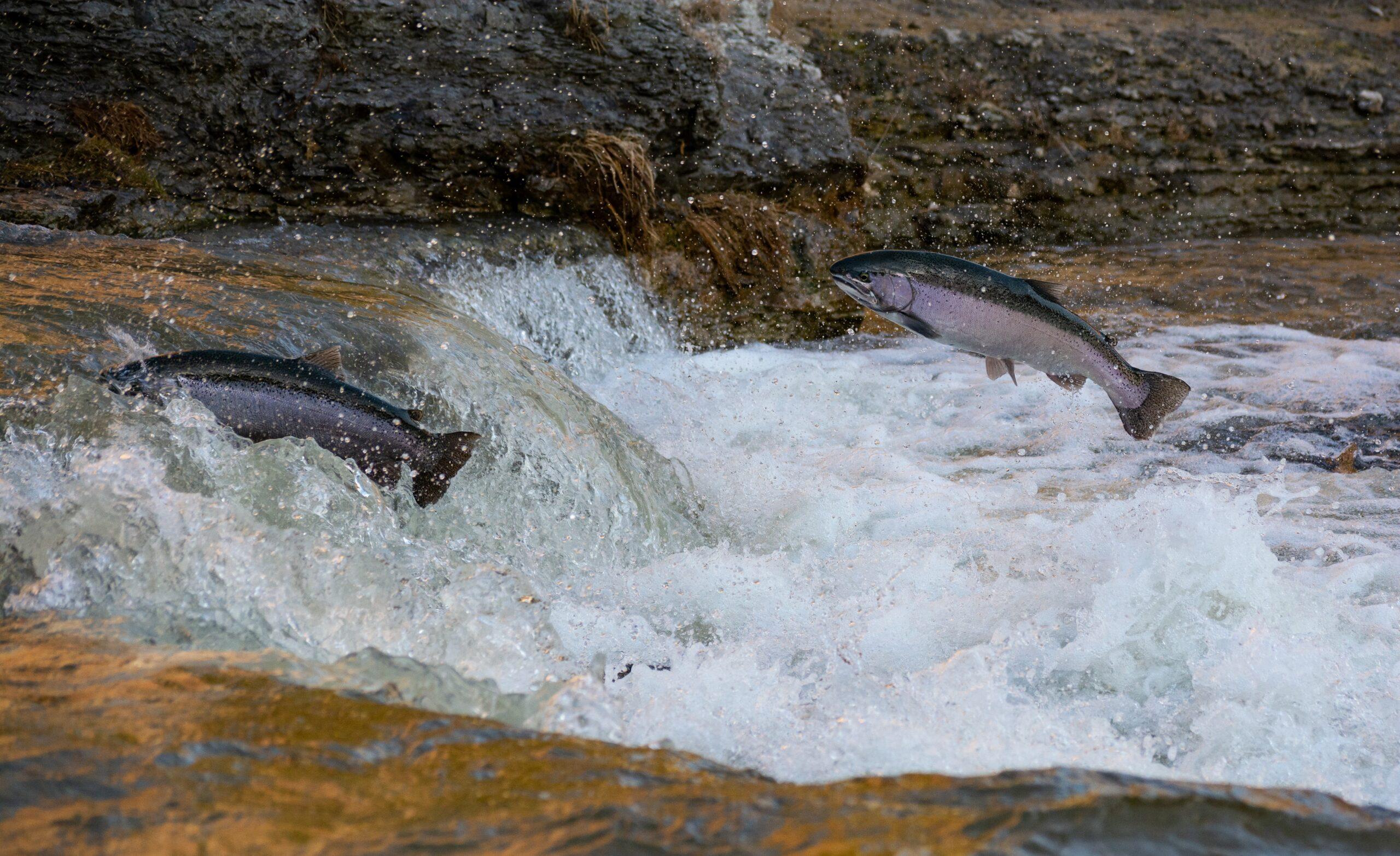 연어 물고기 바다 강