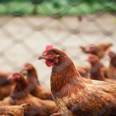 닭, 동물